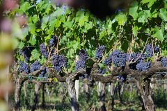 Row of Grapes Ready for Harvest in Italy Royalty Free Stock Photography