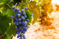 Wine grapes on a vine Royalty Free Stock Photo