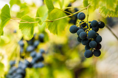 Row of grapes with vine leafs Royalty Free Stock Images