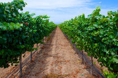 Row of Grapes in Vineyard Royalty Free Stock Photography