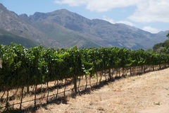 A row of grapes of a vineyard in the mountains of the South Peninsula of Africa Stock Images