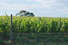 Row of grapes at winery Royalty Free Stock Photo