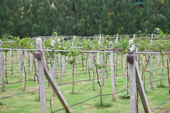 Row of grapes in winery yard Stock Image