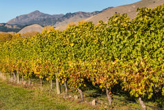 Row of grapevine in vineyard Stock Images
