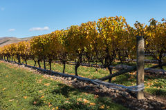 Row of grapevine in vineyard in autumn Stock Photos