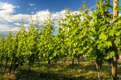 Row of Grapevines in Field Stock Images