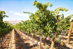 Row Of Grapevines On Red Mountain Royalty Free Stock Images