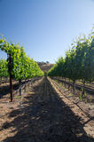 Row of grapevines in Summer sun Royalty Free Stock Image