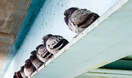Row of gray pigeons sitting on steel beam. Stock Images