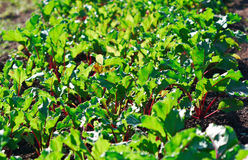 Row of green beet sprouts Stock Photos