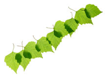 Row of green birch leaves Stock Photo