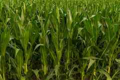 Row of Green Corn Background Royalty Free Stock Images