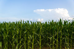 Row of Green Corn Under Blue Sky Stock Photos