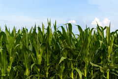 Row of Green Corn Under Blue Sky Stock Images