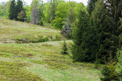 Row of green fir-trees on the green valley Royalty Free Stock Image
