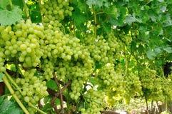 Row of green grape Stock Photo