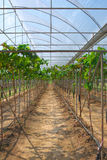 Grape plant Stock Images