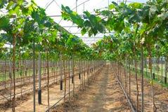 Grape plant Royalty Free Stock Photos