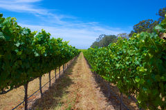 Row of Green Grapes Vineyard Royalty Free Stock Photography