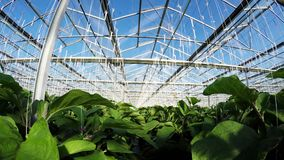 Row of green plants in greenhouse 4k stock video
