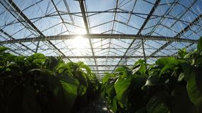 Row of green plants in greenhouse 4k stock footage
