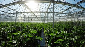 Row of green plants in greenhouse 4k stock video footage