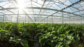 Row of green plants in greenhouse 4k. Row of green plants in greenhouse on a sunny day 4k stock video footage
