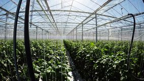 Row of green plants in greenhouse 4k. Row of green plants in greenhouse on a sunny day 4k stock video