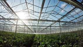 Row of green plants in greenhouse 4k. Row of green plants in greenhouse on a sunny day 4k stock footage