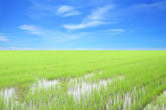 Row of green rice field Royalty Free Stock Photos