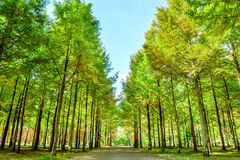 Row of green trees in Nami Island. Row of green trees in Nami Island, Korea Stock Photo