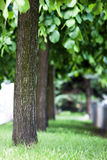 Row of green trees in park alley in spring with shallow depth of Stock Image