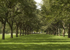 Double row of green trees in summer. Stock Photography