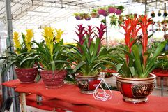 Row of Guzmania Plants Stock Photos