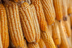 Row of hanging dry corn cob Royalty Free Stock Photo