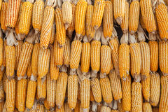 Row of hanging dry corn cob Stock Images
