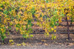 Row of Harvested Grapevines with Leaves Turning Yellow. Closeup row of harvested grapevines in vineyard with Autumn colored leaves stock photo
