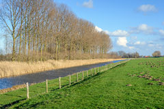 Row of high and bare trees beside a small stream. Row of tall and bare trees along a narrow canal next to green grassland with a lot of molehills separated by a Royalty Free Stock Images
