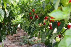 Row of Hot Peppers Royalty Free Stock Image