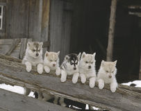 Row of husky puppies Stock Photos