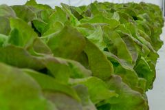 Row of hydroponic lettuce in a greenhouse royalty free stock photos