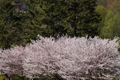 Row of Japanese flowering trees close to peak bloom Royalty Free Stock Photography