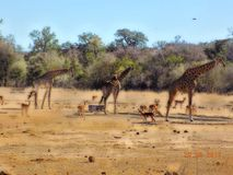 3 in A row. Kruger national park, giraffe drink time at the waterhole Royalty Free Stock Photography
