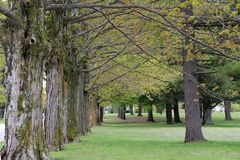 Row of large maple trees. Long row of old maple trees in a park early spring. Trees have moss on the bark Stock Images