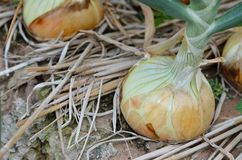 Row of large onions in soil. Row of large onions growing in soil Stock Photos