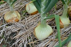 Row of large onions in soil. Row of large onions growing in soil Stock Image