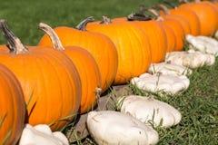 Row of large pumpkins Stock Photo