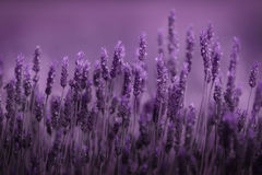 Row of lavender. Shallow focus on a row of lavender isolated in a larger field Stock Images