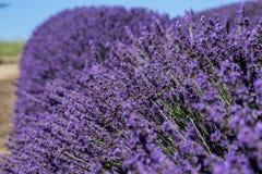 Row of lavender at a farm in Sequim, Washington Stock Photos