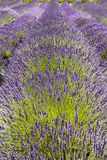 Row of Lavender Flowers Royalty Free Stock Photo